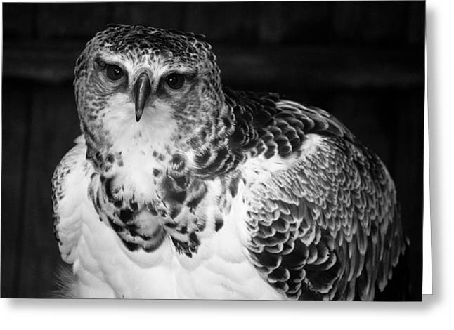 Warwick Greeting Cards - Bird of Prey Greeting Card by Chris Whittle