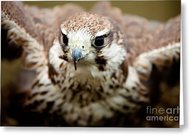 Falcon Hunting Greeting Cards - Bird of prey flying Greeting Card by Simon Bratt Photography LRPS