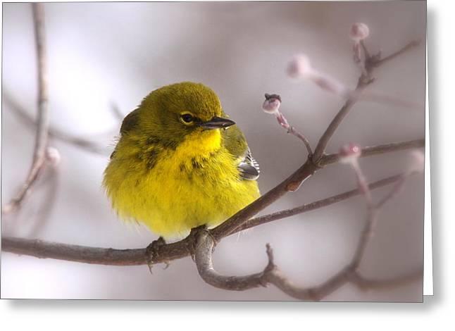 Travis Truelove Photography Greeting Cards - Bird - Pine Warbler - Yellow Beauty Greeting Card by Travis Truelove