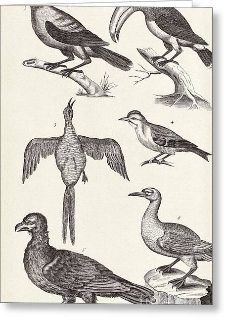History Derbyshire Greeting Cards - Bird Specimens, 18th Century Greeting Card by Middle Temple Library