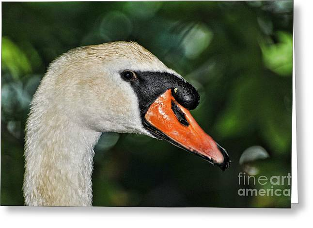 Bird Watcher Greeting Cards - Bird - Swan - Mute Swan Close up Greeting Card by Paul Ward