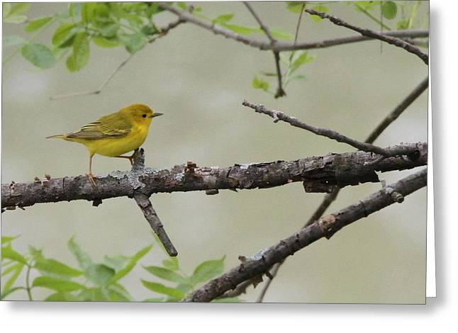 Wildlife Refuge. Greeting Cards - Bird Yoga Yellow Warbler Greeting Card by Dan Sproul