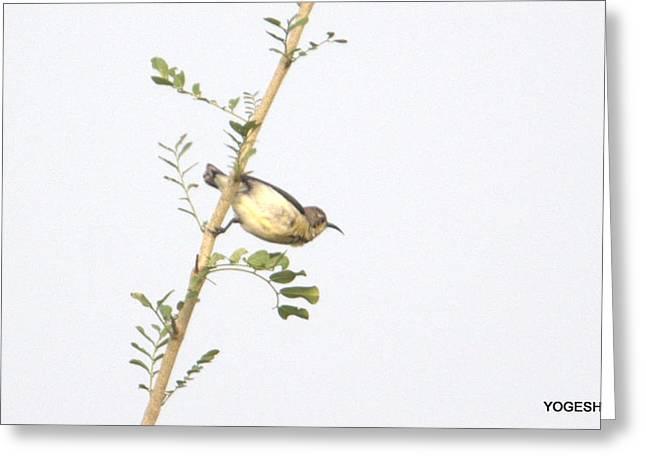 Bird On Tree Greeting Cards - Bird Greeting Card by Yogesh Divekar