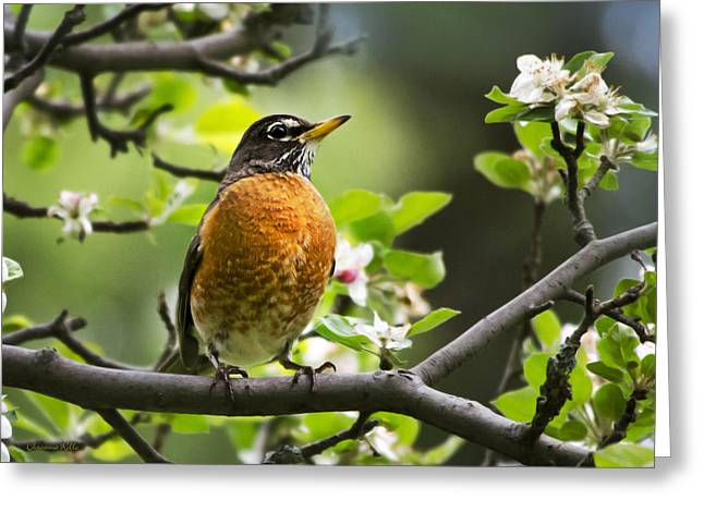 Bird In Tree Greeting Cards - Birds - American Robin - Natures Alarm Clock Greeting Card by Christina Rollo
