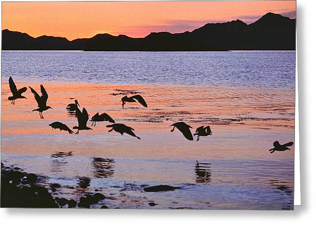 Sea Birds Greeting Cards - Birds Frolic at Daybreak Greeting Card by Robert  Rodvik