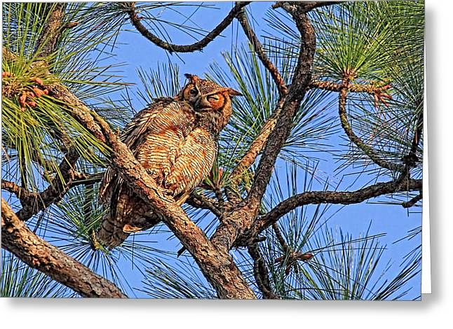Nocturnal Animal Print Greeting Cards - Birds - Great Horned Owl Greeting Card by HH Photography of Florida