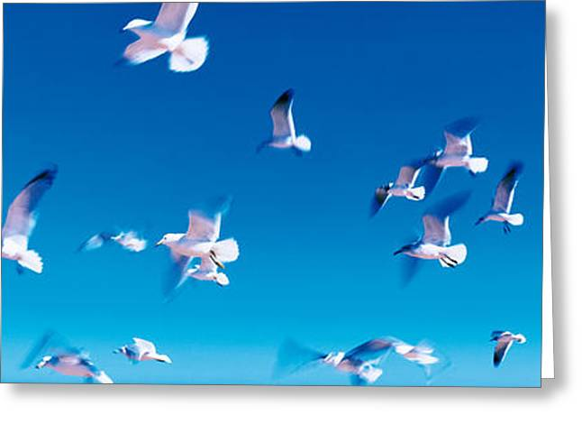 Flying Seagull Greeting Cards - Birds In Flight Flagler Beach Fl Usa Greeting Card by Panoramic Images