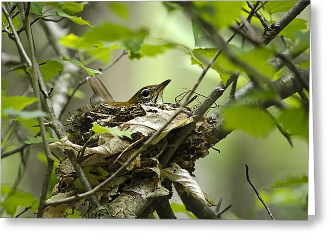 Mother Gift Greeting Cards - Birds Nest Wood Thrush Greeting Card by Christina Rollo