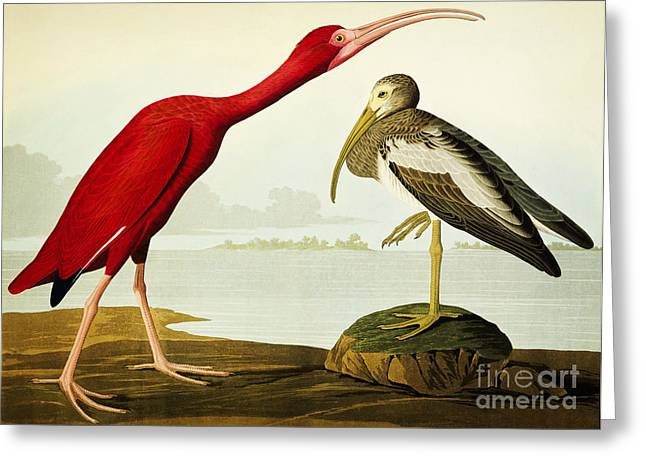 Aquatint Greeting Cards - Birds of America Greeting Card by Celestial Images
