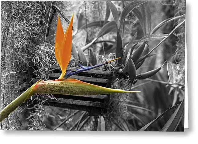 Hanging Planter Greeting Cards - Birds of Paradise 2 Greeting Card by Calazones Flics