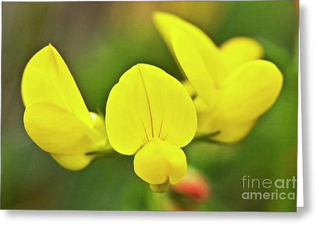 Bird Feet Greeting Cards - Birdsfoot trefoil in the meadows Greeting Card by Heiko Koehrer-Wagner