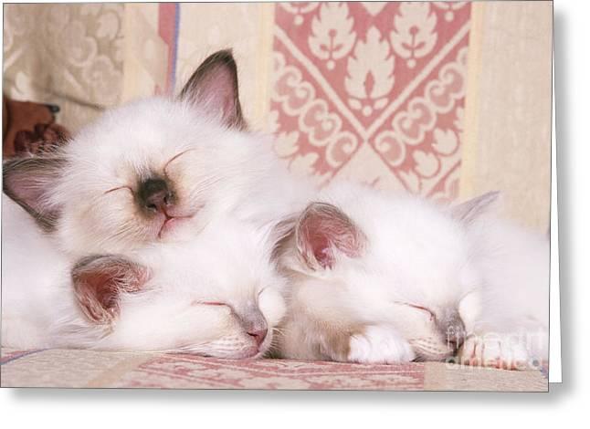 Cats Birman Greeting Cards - Birman Kittens Greeting Card by John Daniels