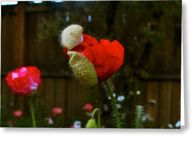 Selection Mixed Media Greeting Cards - Birth of a Poppy Greeting Card by Katie McGuire