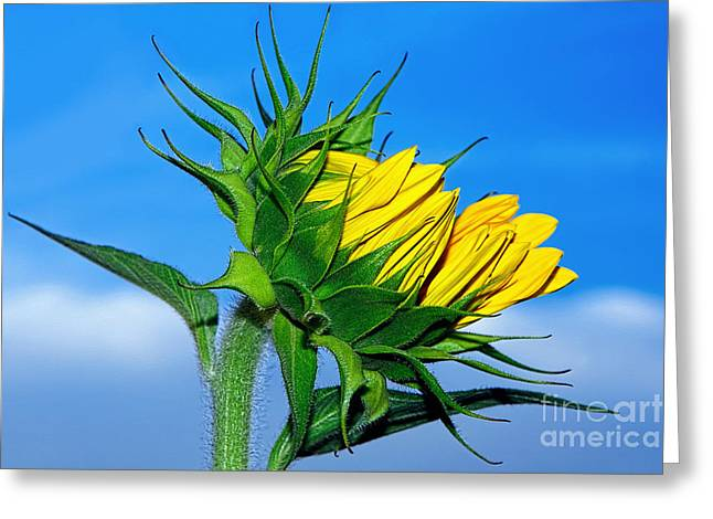 Unfurl Greeting Cards - Birth of a Sunflower by Kaye Menner Greeting Card by Kaye Menner