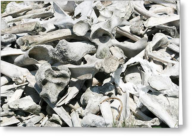 Bone Pile Greeting Cards - Bison and Deer Bones Greeting Card by Robert Hamm