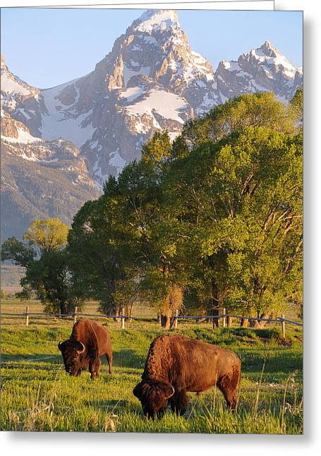 Rocky In Spring Greeting Cards - Bison and Grand Teton Greeting Card by Aaron Spong