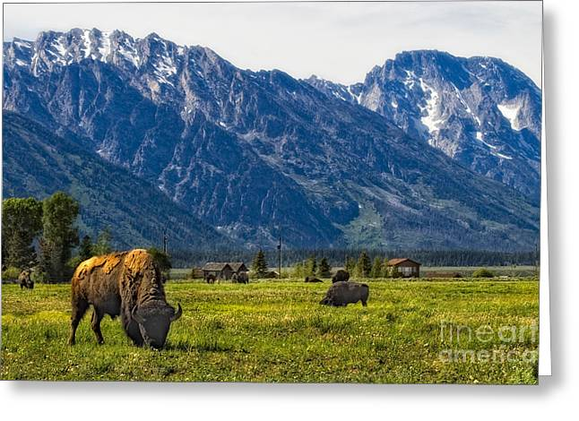 Snow Capped Greeting Cards - Bison and Tetons Greeting Card by Timothy Hacker