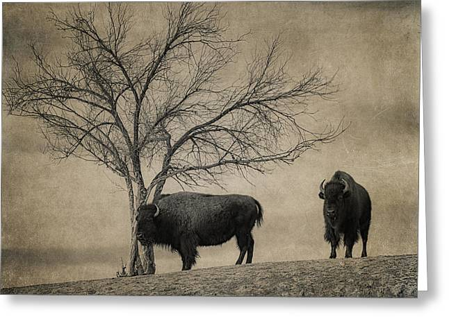 Wildlife Refuge. Greeting Cards - Bison Beauties Greeting Card by Priscilla Burgers