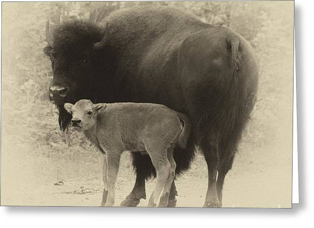 Bison Photos Greeting Cards - Bison Greeting Card by Bob Christopher