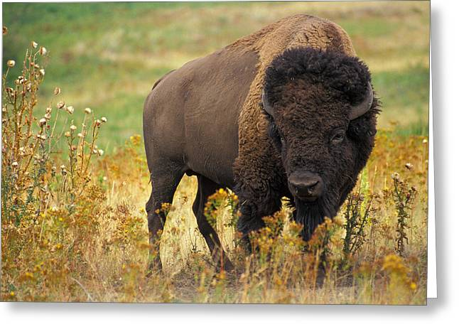 National Park Service Greeting Cards - Bison Buffalo Greeting Card by National Parks Service