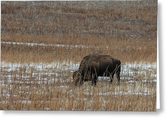 Grazing Snow Greeting Cards - Bison Greeting Card by Carl Nielsen