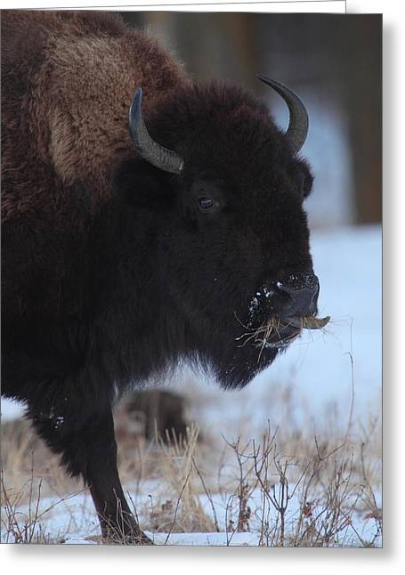 Grazing Snow Greeting Cards - Bison Grazing Greeting Card by Bruce J Robinson
