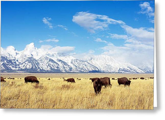 Grazing Snow Greeting Cards - Bison Herd, Grand Teton National Park Greeting Card by Panoramic Images