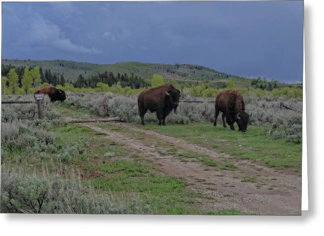 Wyoming Wildlife Greeting Cards - Bison Herd In The Tetons Greeting Card by Dan Sproul
