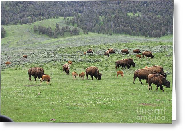 Social Herd Animals Greeting Cards - Bison Herd Yellowstone Park Greeting Card by Phil Welsher