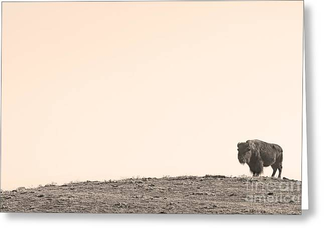 Wildlife Art Metal Prints Greeting Cards - Bison Hill  Greeting Card by James BO  Insogna