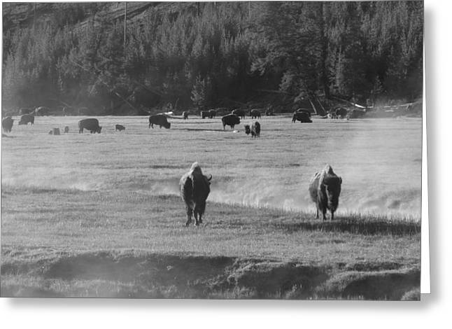 Primeval Greeting Cards - Bison In Morning Fog Yellowstone Greeting Card by Dan Sproul