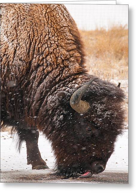Recently Sold -  - Wildlife Refuge. Greeting Cards - Bison in Snow_1 Greeting Card by Tom Potter