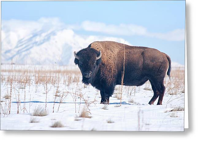 The American Buffalo Greeting Cards - Bison on Antelope Island Utah Greeting Card by Carolyn Rauh