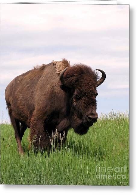Faux Finish Greeting Cards - Bison on the Prairie Greeting Card by Olivier Le Queinec