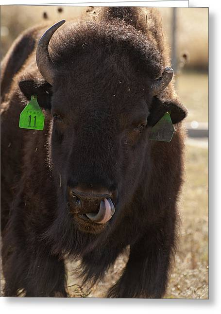 Cool Attitude Greeting Cards - Bison One Horn Tongue in Nose Greeting Card by Melany Sarafis