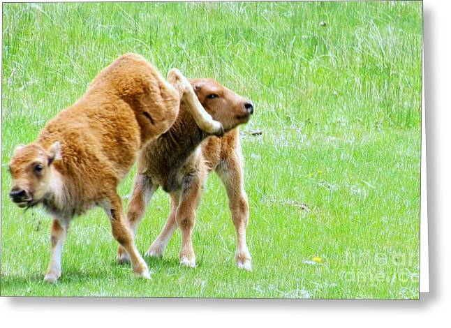 Yellowstone Art Greeting Cards - Bison Play Greeting Card by Harriet Peck Taylor
