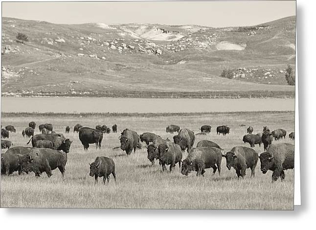 Charly Greeting Cards - Bison Prairie Greeting Card by Christian Heeb