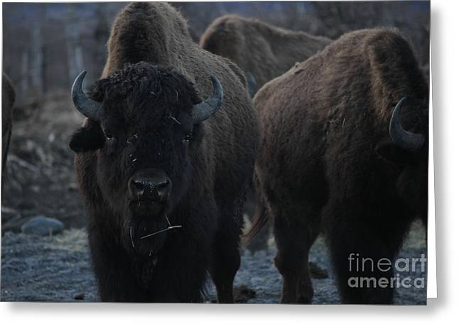 Bison Mixed Media Greeting Cards - Bison Greeting Card by Shiela  Mahaney