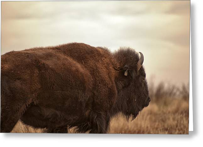 Bison Photos Greeting Cards - Bison Walking Into The Sunset Greeting Card by Melany Sarafis