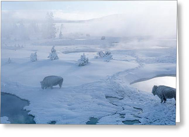 Geyser Greeting Cards - Bison West Thumb Geyser Basin Greeting Card by Panoramic Images