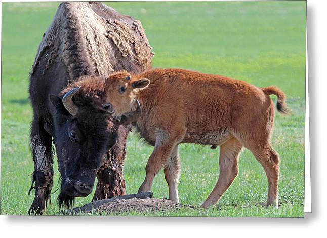 Greeting Card featuring the photograph Bison With Young Calf by Bill Gabbert