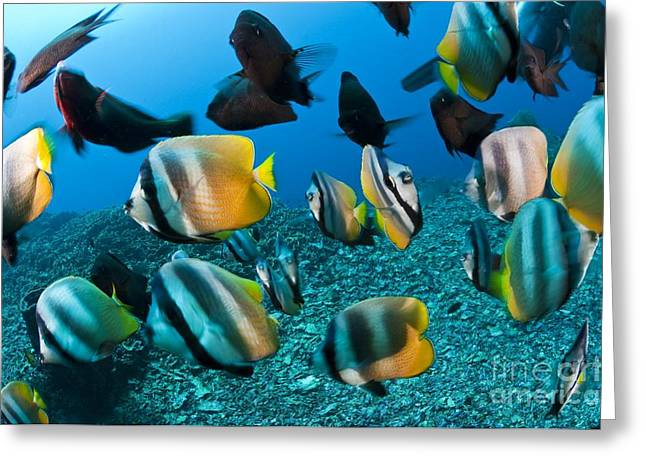 Reef Fish Greeting Cards - Bitterflyfish, Wrasse And Damselfish Greeting Card by Matthew Oldfield