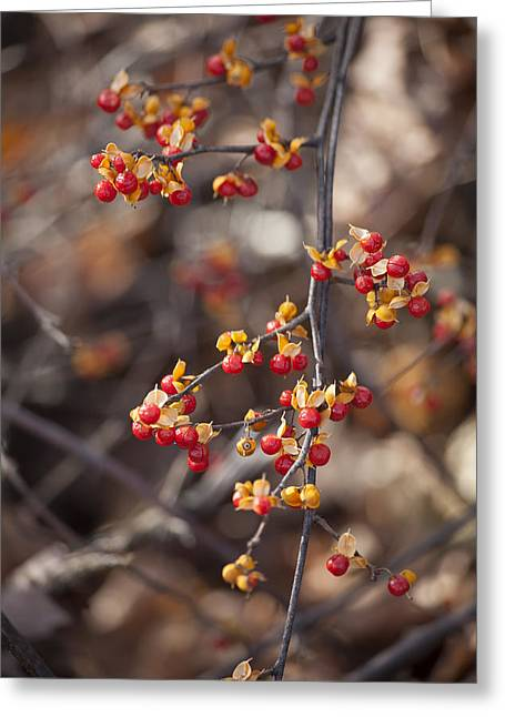 Bittersweet Greeting Cards - Bittersweet Vine Fall Season Greeting Card by Trevor Slauenwhite