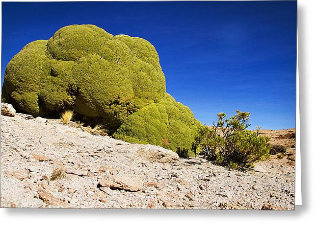 Bolivia Blog Greeting Cards - Bizarre Green Plant Bolivia Greeting Card by For Ninety One Days
