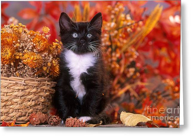 Tuxedo Greeting Cards - Black and White Kitten In Autumn Greeting Card by Alan and Sandy Carey