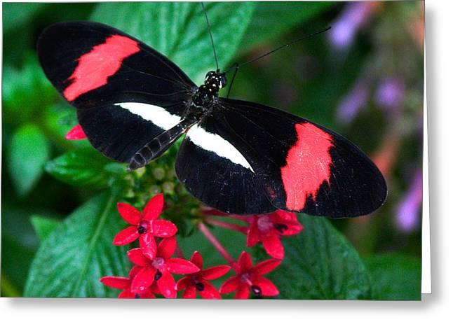 Vlinder Greeting Cards - Black and Coral Greeting Card by Karen Stephenson
