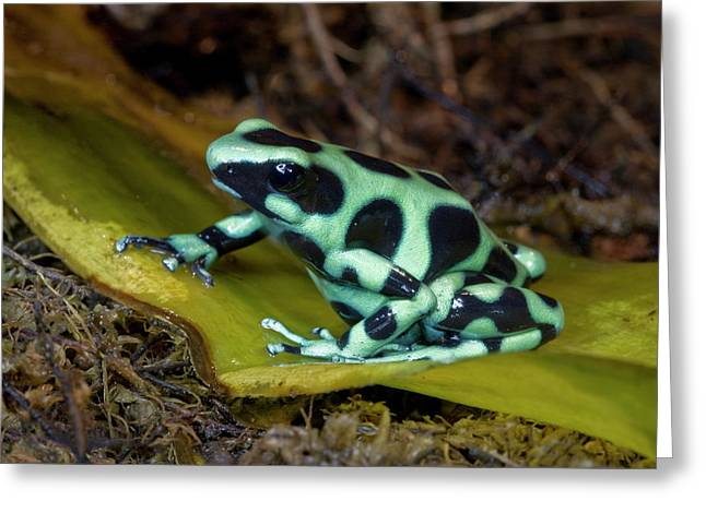 Black And Green Poison-dart Frog Greeting Card by Thomas Wiewandt