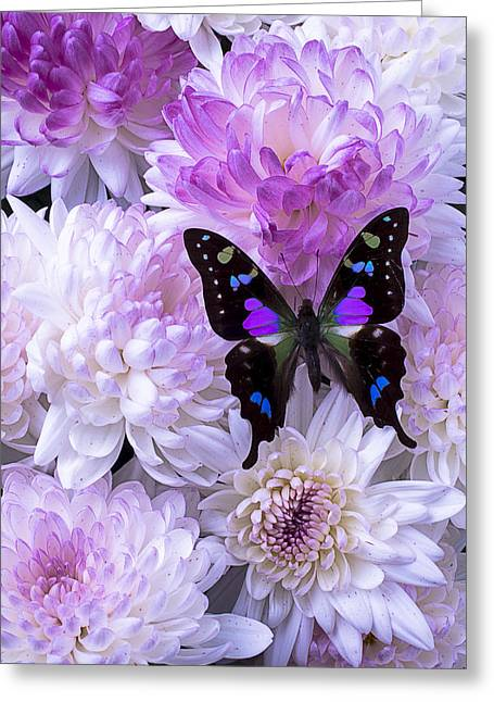 Pink Chrysanthemums Greeting Cards - Black and purple butterfly on mums Greeting Card by Garry Gay