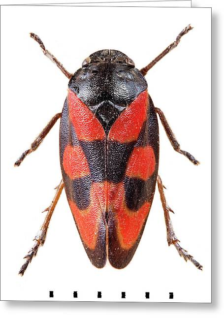 Black-and-red Froghopper Greeting Card by Natural History Museum, London