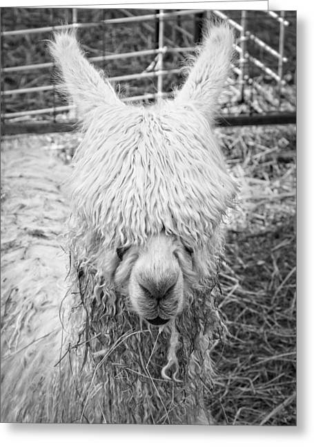 Furry Coat Greeting Cards - Black and White Alpaca Photograph Greeting Card by Keith Webber Jr